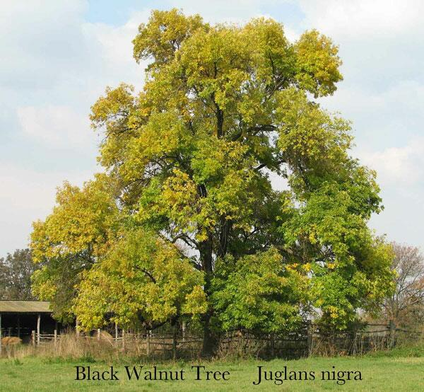 Tips for Growing Black Walnut…